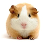 guinea-pig-5_thumb Opinion